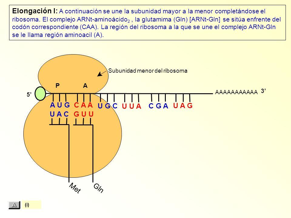 Elongación I: A continuación se une la subunidad mayor a la menor completándose el ribosoma. El complejo ARNt-aminoácido2 , la glutamima (Gln) [ARNt-Gln] se sitúa enfrente del codón correspondiente (CAA). La región del ribosoma a la que se une el complejo ARNt-Gln se le llama región aminoacil (A).